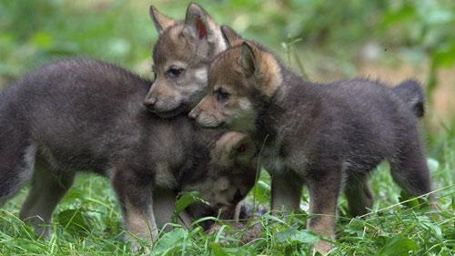 Eurasian wolf cubs