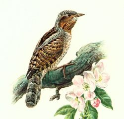 oiseaux_torcol